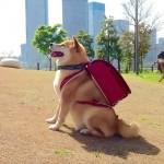 200万人に愛される柴犬まるが三重県観光大使に就任!癒し画像も
